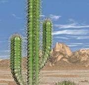 cactus20pic