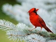 CARDINAL BIRD