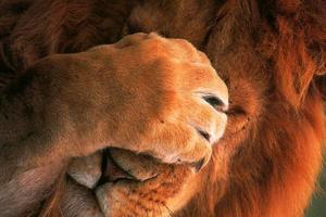 lionfacepalm