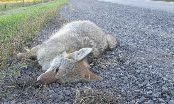 road_kill_coyote_large