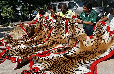 dead_tiger