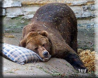 sleeping-bearoriginal