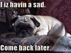 funny-dog-pictures-pug-has-sad