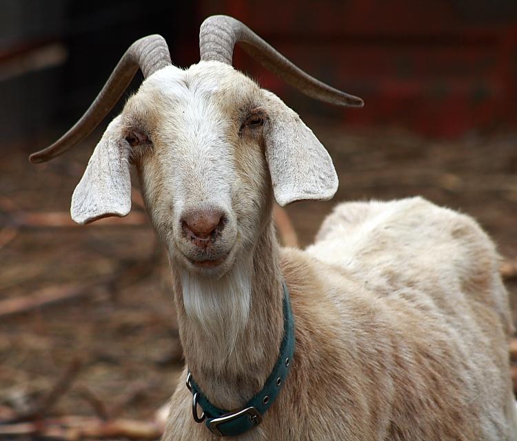 http://www.thepensblog.com/http://thepensblog.com/wp-content/uploads/sites/26/2010/10/goat3281.jpg