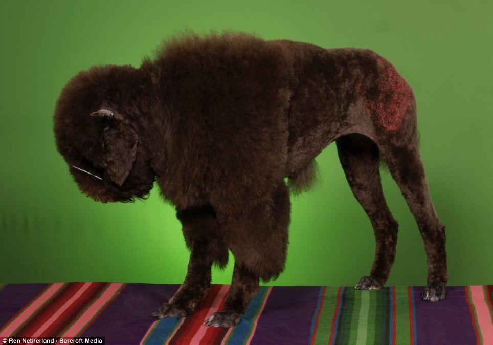 bisonpoodle