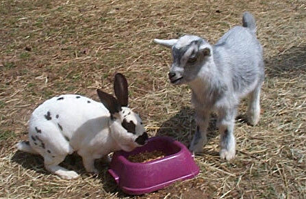 goat_rabbit_sharing