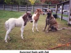 suncrest_foals_with_zak