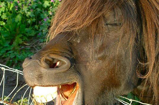 537px-equine_joke