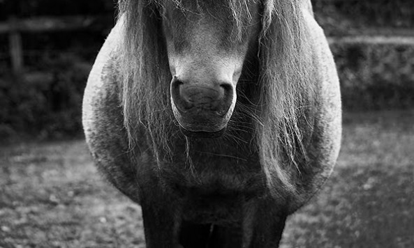 miniature-pony-resting-796091