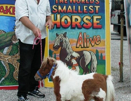 little-jimmy-the-dwarf-horse-459x600