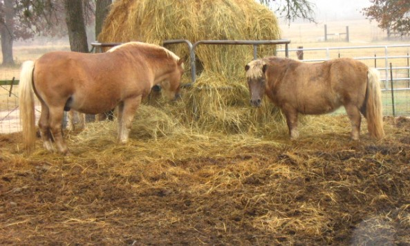 mini-horses