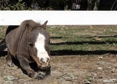 smallhorse