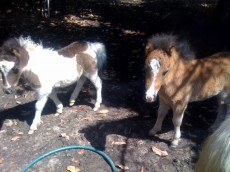 baby_horses