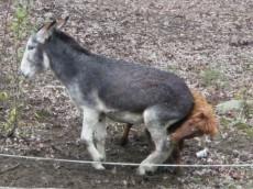 donkeysittingonminihorse