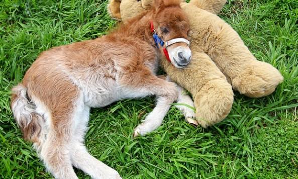 shetland-pony_teddybear