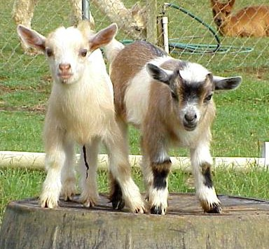 nigerian-dwarf-goat-juliesjungle-2795-20090409-331