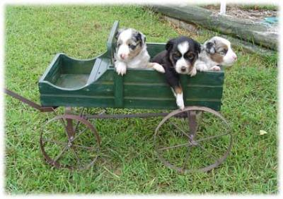 minihorsecartpuppies