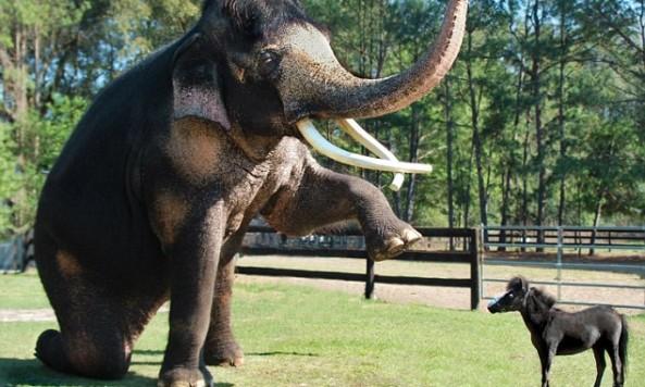 elephantminipony