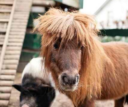 Little-pony-with-pig