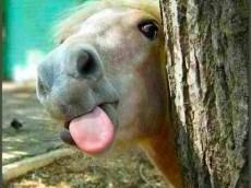 tongueponyusbzoso