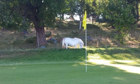 golfcourseminiponycotter