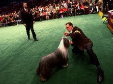NEW YORK - FEBRUARY 09: A handler shows off his Bearded Collie during the 133rd Annual Westminster Kennel Club Dog Show at Madison Square Garden February 9, 2009 in New York City. The Westminster Kennel Club Dog Show is considered the most important in the United States.  (Photo by Chris McGrath/Getty Images)